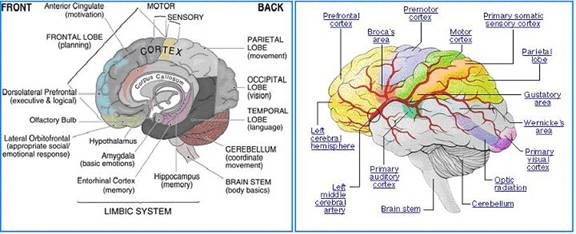 Thebasal ganglia are a group of structures, including the globus ...